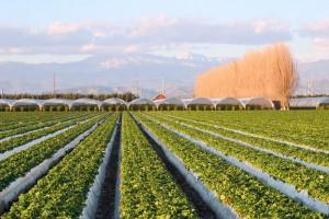 Oxnard strawberry fields